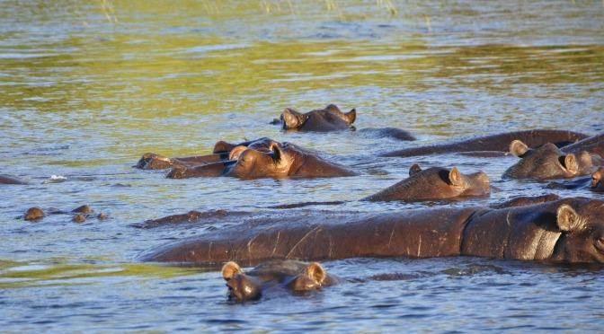 Zdjęcie hipopotamów