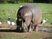 Zdjęcie hipopotama