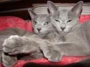 Rosyjski Niebieski - Kocia Pasja