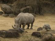 Zdjęcie nosorożca