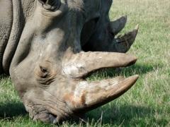 Zdjęcie głowy nosorżca