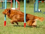 Pies pokonujący slalom