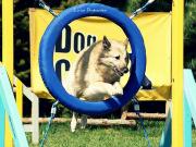 Pies pokonujący przeszkodę