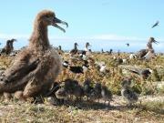 Zdjęcie albatrosa
