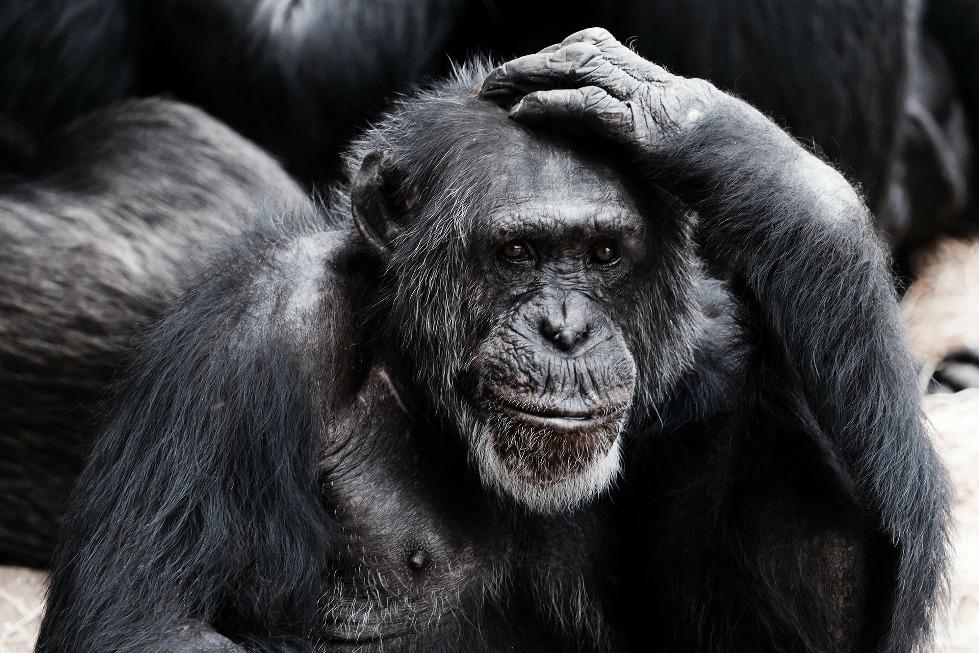 Zdjęcie szympansa