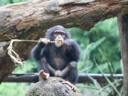 Zdjęcie małego szympansa