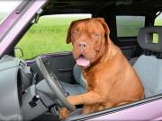 Zdjęcie psa w samochodzie