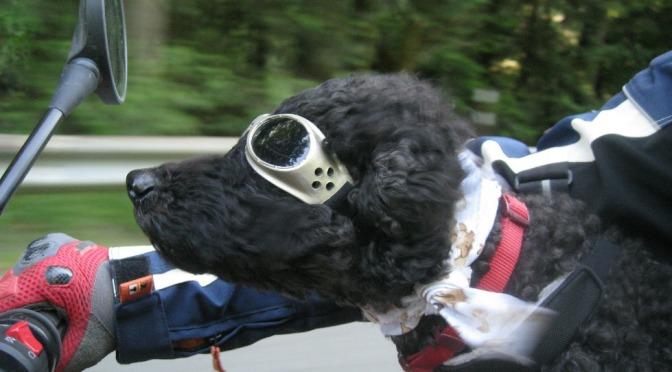 Zdjęcie psa na motocyklu