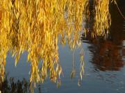 Żółte liście nad wodą