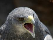 Zdjęcie drapieżnego ptaka
