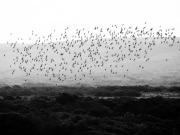 Stado ptaków w locie