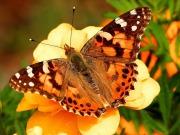 Motyl rusałka osetnik