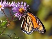 Motyl Monarcha - danaus plexippus