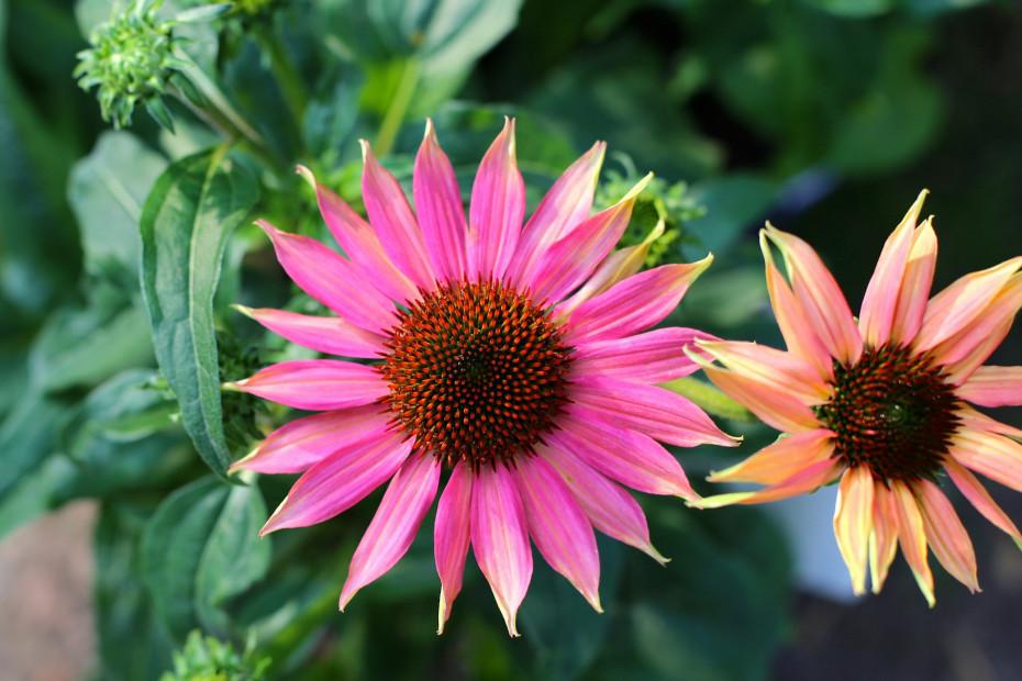 Kwiat jeżówki