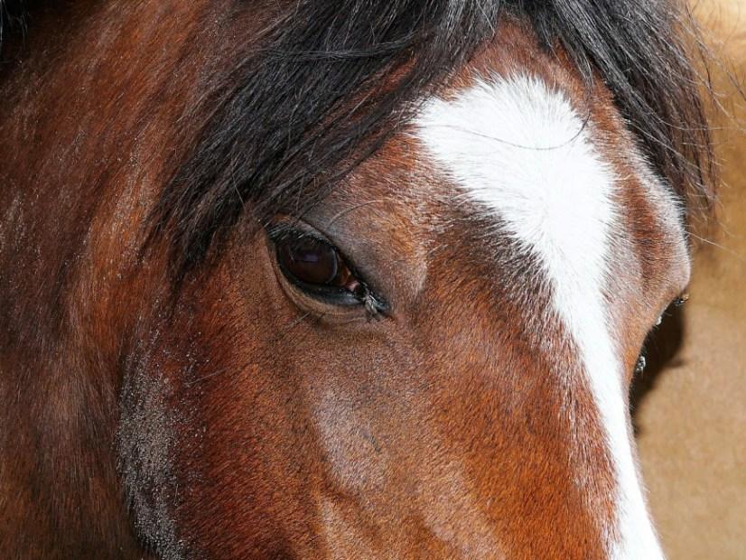 Zdjęcie głowy konia