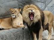 Lwica i lew
