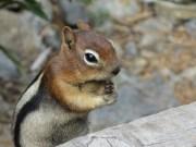 Wiewiórka pręgowana