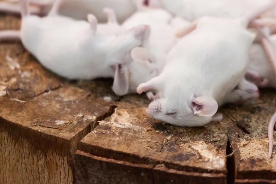 Martwe myszy