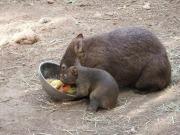 Wombat - zdjęcie wombatów