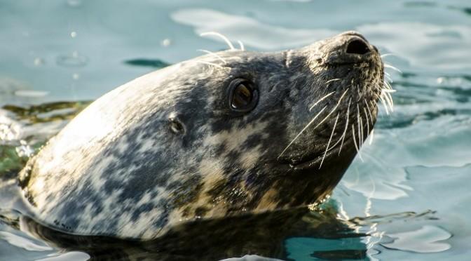 W Bałtyku żyje coraz więcej fok szarych