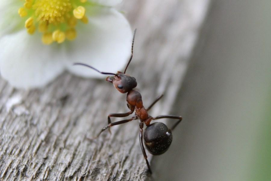 Zdjęcie mrówki