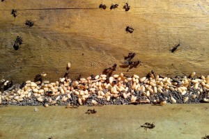 Mrówki przenoszące jaja