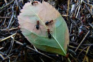Mrówki na liściu