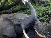 Elephant bathing. These large pachyderms are the architects of the Central African forest. In turn they open the environment and plant trees by conveying their seeds they do not digest.