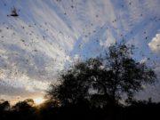 Inwazja szarańczy w Parku Narodowym Zakouma