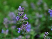 Kwiat kocimiętki