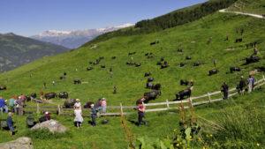 Krowy eringer na pastwisku w kantonie Wallis