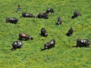 Krowy Eringer na pastwisku