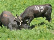 Walka krów Eringer