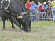 Krowa rasy Eringer
