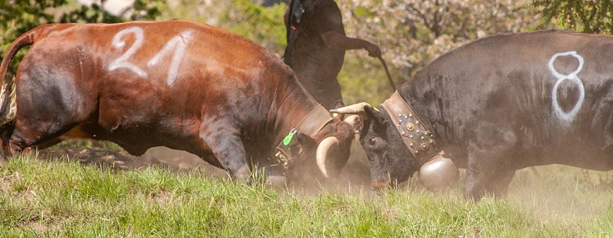 Walki krów rasy Eringer