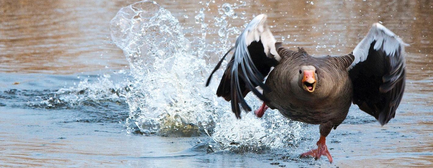 Jak ptaki uczą się rozpoznawać zagrożenie?
