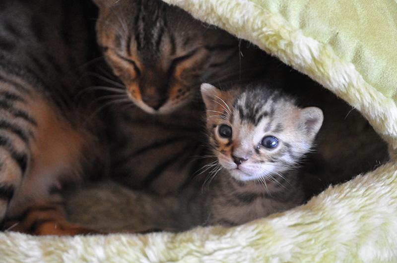 Kot Bengalski Opis Rasy I Zdjęcia Kotów Bengalskich
