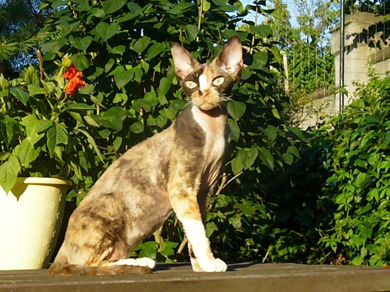Kot Devon Rex Opis Rasy I Zdjęcia Kotów Devon Rex